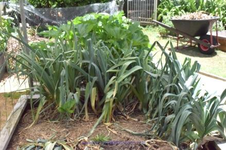 leeks-in-the-garden