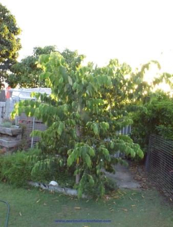 panama-berry-the-tree