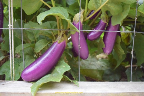 eggplants-on-the-bush