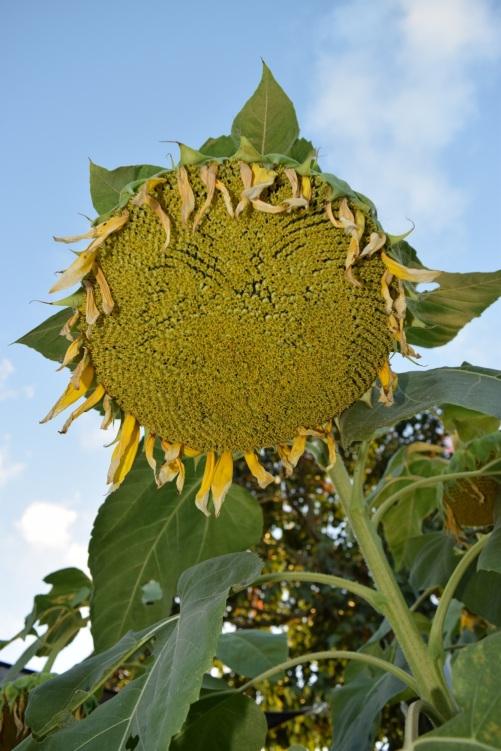 sunflower-seed-head