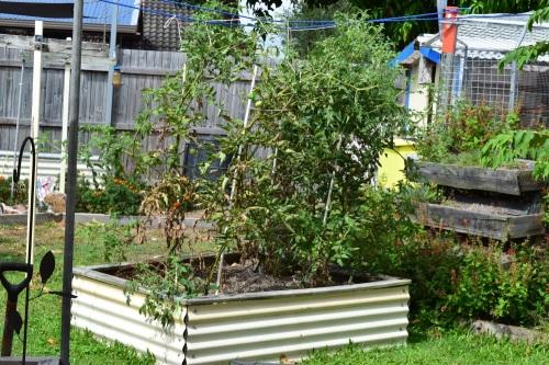 tomato-plants-140217