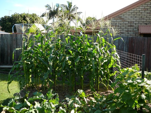 Our Corn Patch