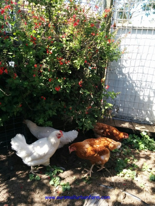 Chooks Home 090417 (11)