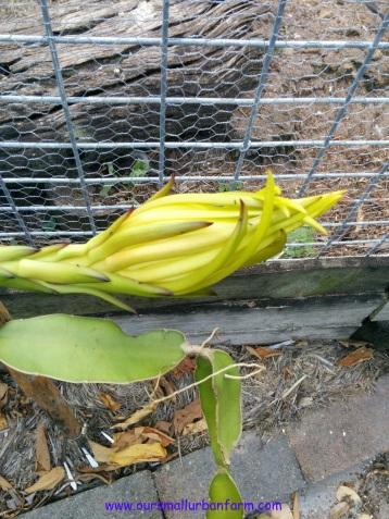 Dragonfruit 160417 (1)