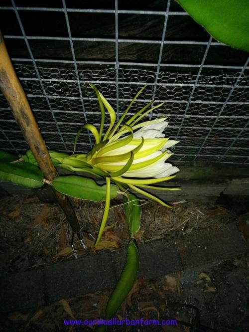 Dragonfruit 160417 (4)